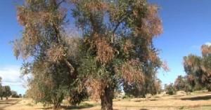 Sul disseccamento degli ulivi nel Salento: intervista al dott gabrieli