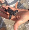 Stamattina alle 10 sulla spiaggia di Lido Universo (Alimini) è stato recuperato un neonato esemplare di Caretta caretta. Si tratta di quello che tecnicamente viene definito Hatchling, ovvero un animale nato da poche ore o giorni....