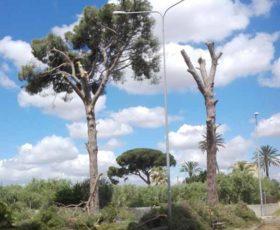 Carpignano – Abbattimento pini secolari, infuria la polemica