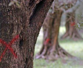 Xylella: Confagricoltura Lecce contro il provvedimento dell'Unione Europea