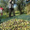 Xylella: Coldiretti, al via portale per richiesta danni. A Lecce l'olivicoltura più sostenibile d'Italia