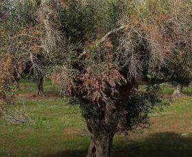 Dalla Regione Puglia 5 milioni di euro per aiutare le imprese agricole danneggiate dalla Xylella
